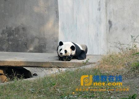 天津荐福观音寺续养天津动物园国宝大熊猫
