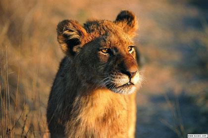 动物园新进了一只狮子,野生的.